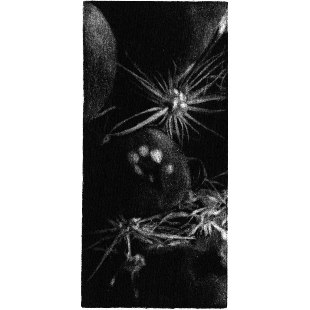 Cactus II · mezzotint · 20 x 9 cm 2009